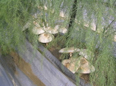 OKㄝ鮮Q綠蘆筍園(三):有菇菇.JPG