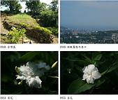 81紅淡山:茶花.jpg