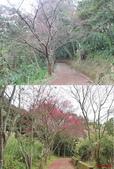 684大山背:16櫻花步道.jpg